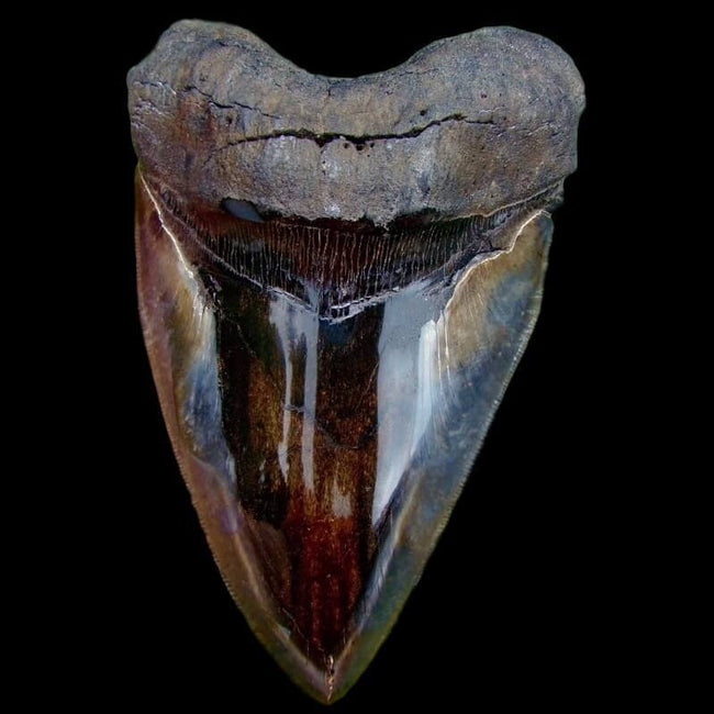 Polished Megalodon Teeth Collection