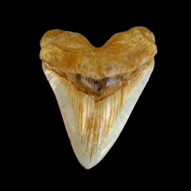 Megalodon Shark Teeth  - The Exotics