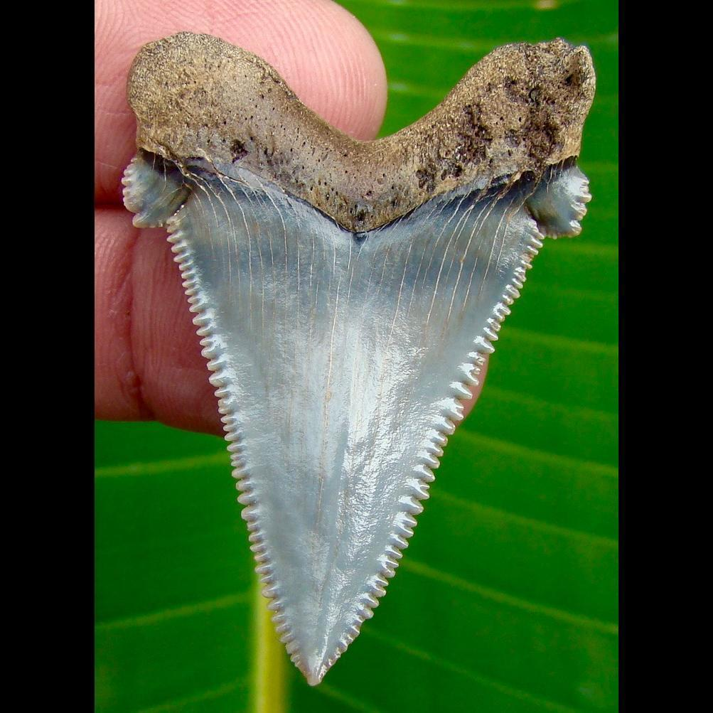 Angustidens Shark Tooth 1 & 15/16 in. South Carolina Angustidens Shark Tooth