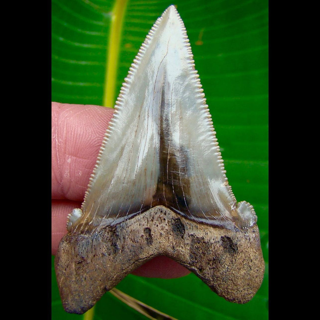 Angustidens Shark Tooth 2 & 7/16in. South Carolina Angustidens Shark Tooth