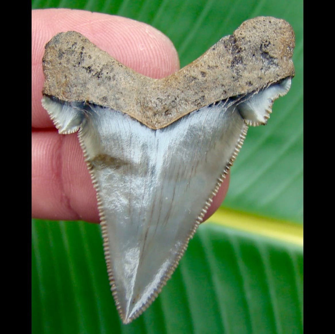 Angustidens Shark Tooth 2 in. South Carolina Angustidens Shark Tooth