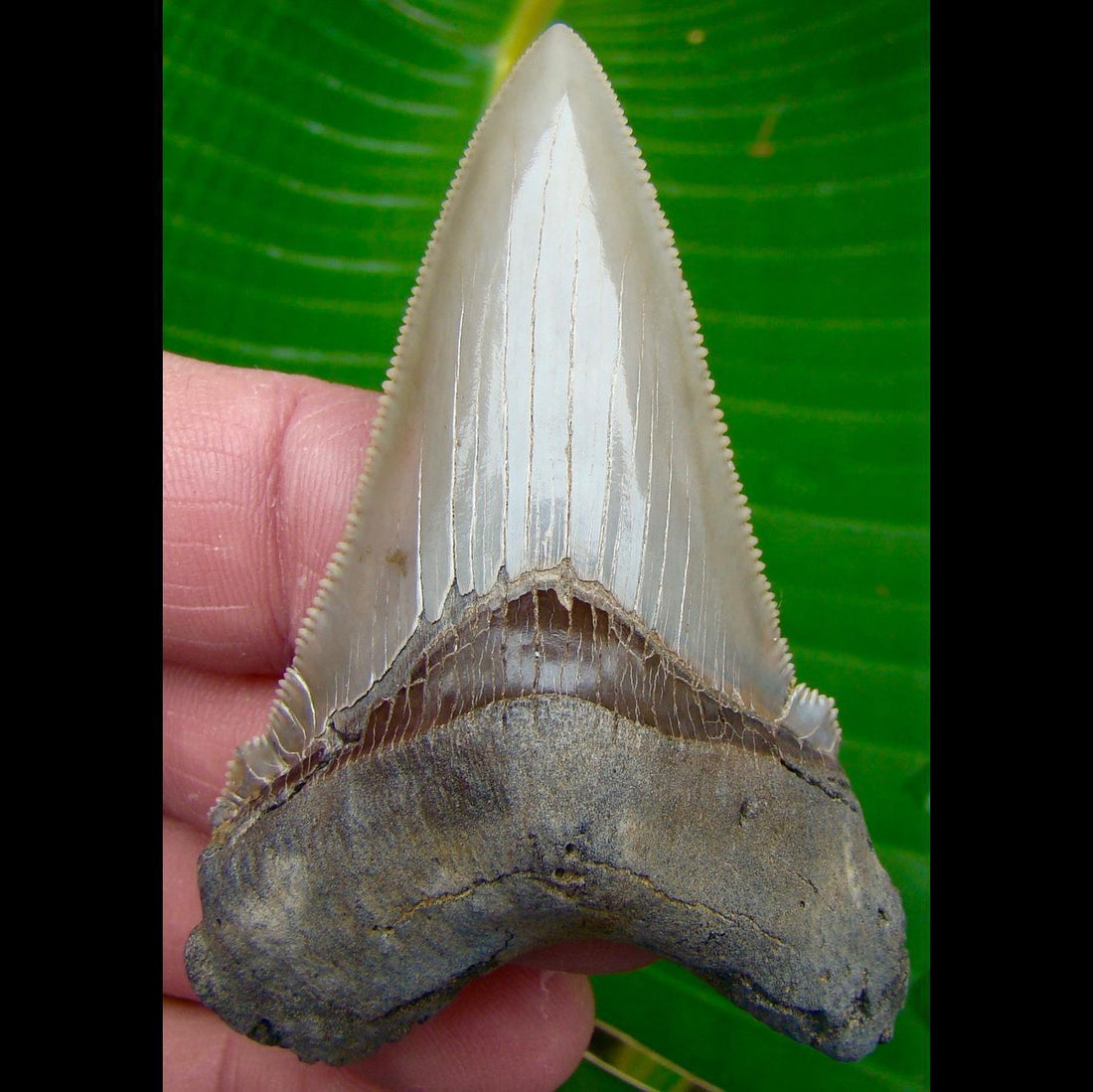 Angustidens Shark Tooth 3 in. South Carolina Angustidens Shark Tooth