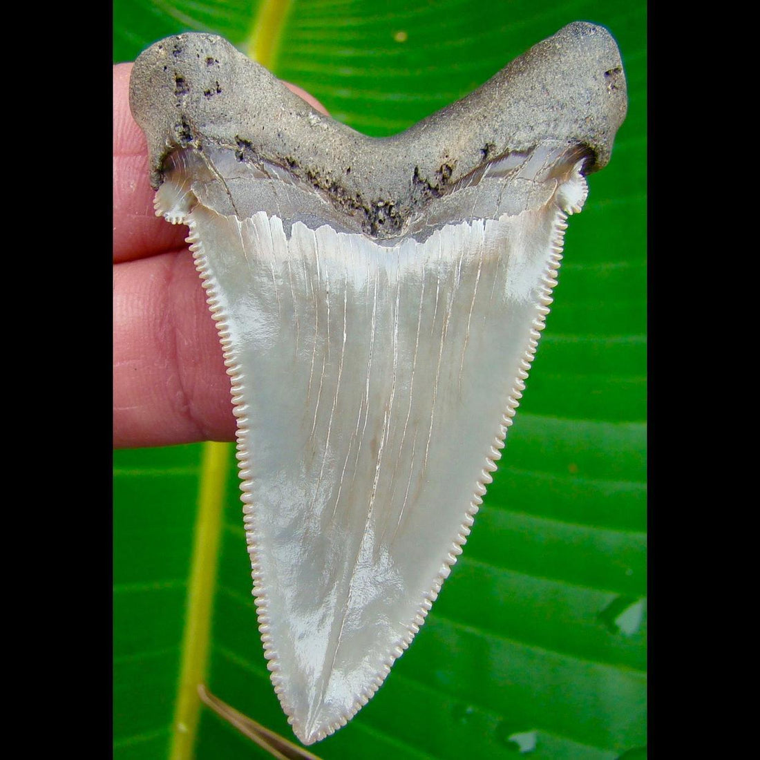 Angustidens Shark Tooth LARGE  2 & 3/4 in. South Carolina Angustidens Shark Tooth