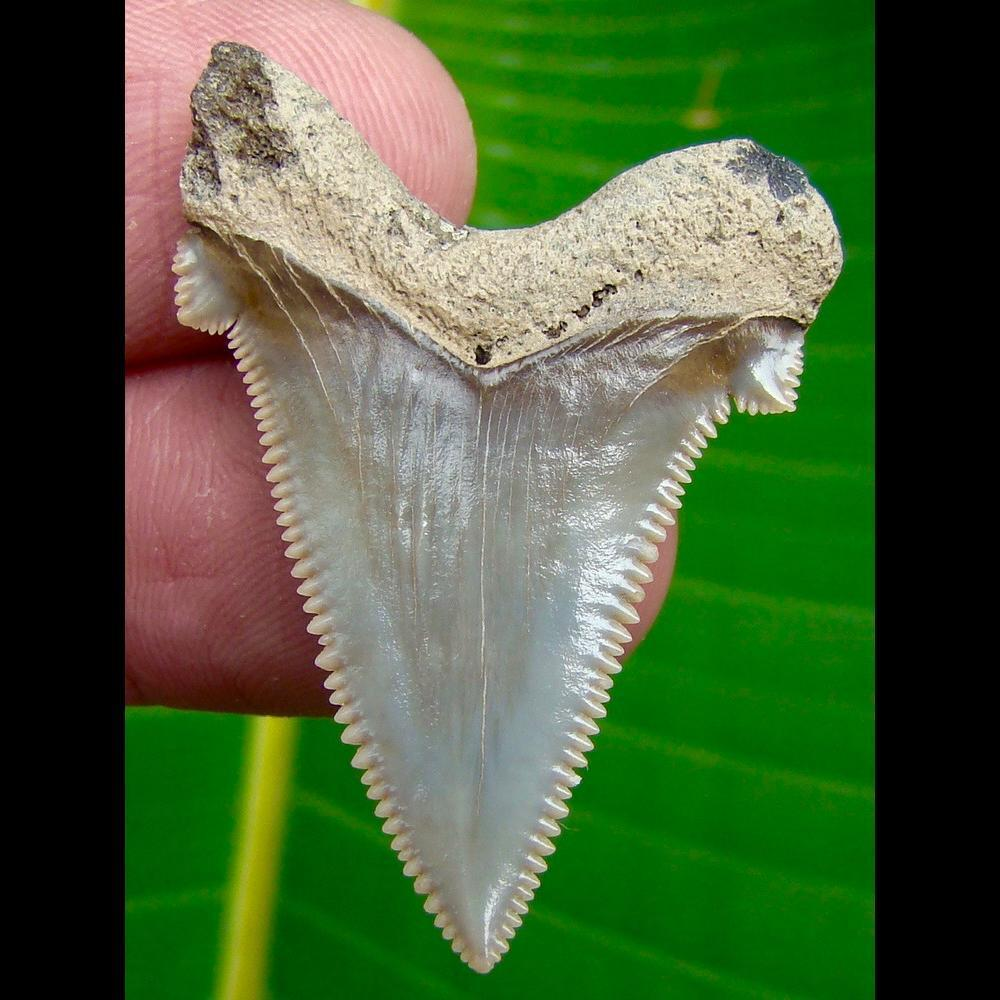 Angustidens Shark Tooth OVER  1 & 5/8 in. South Carolina Angustidens Shark Tooth