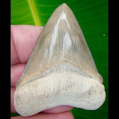 Chubutensis 2 & 11/16 in. *COLORFUL  * BONE VALLEY Chubutensis Shark Tooth