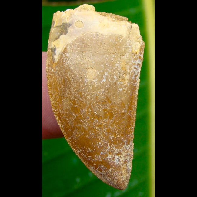 Dinosaur Teeth 1 & 9/16 in. 100% NATURAL Carcharodontosaurus Tooth