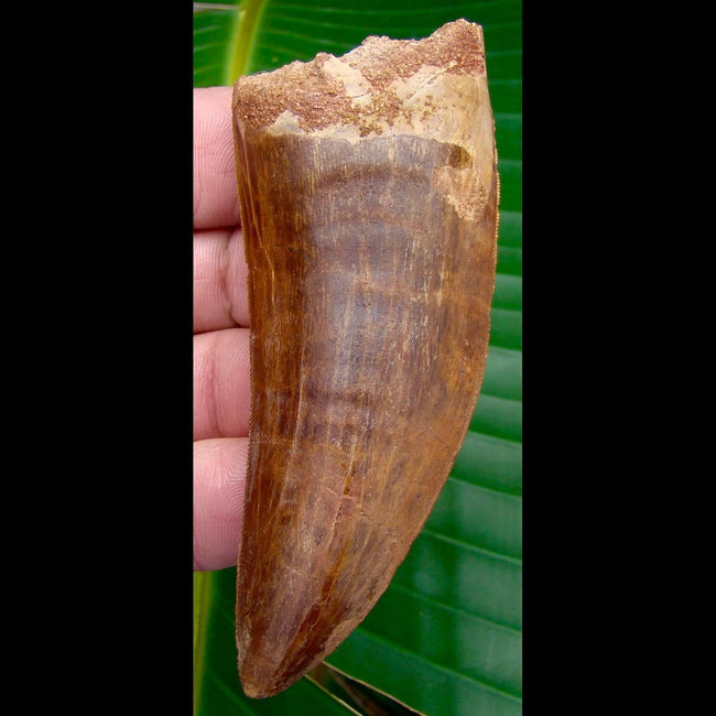 Dinosaur Teeth 4 in.  *  BRICK RED * Carcharodontosaurus Tooth - 100% NATURAL