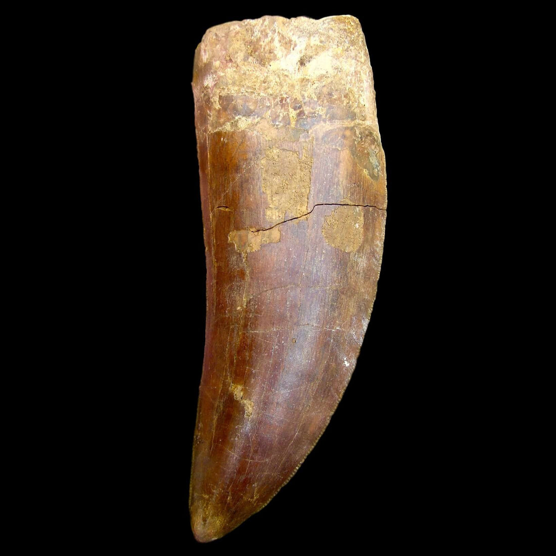 Dinosaur Teeth 5 in. * THE BEAST * Carcharodontosaurus Tooth
