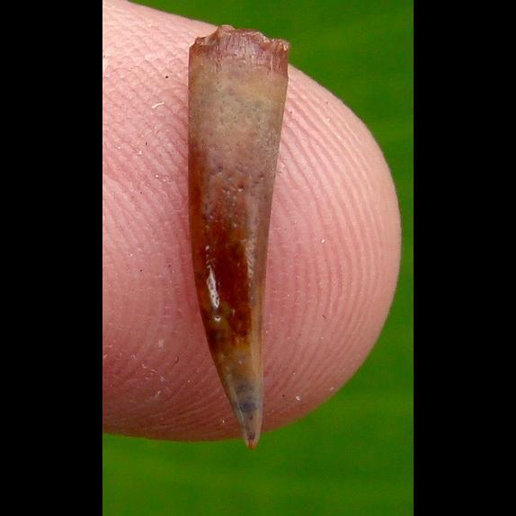 Dinosaur Teeth OVER 5/8 in. PTEROSAUR * Dinosaur Tooth