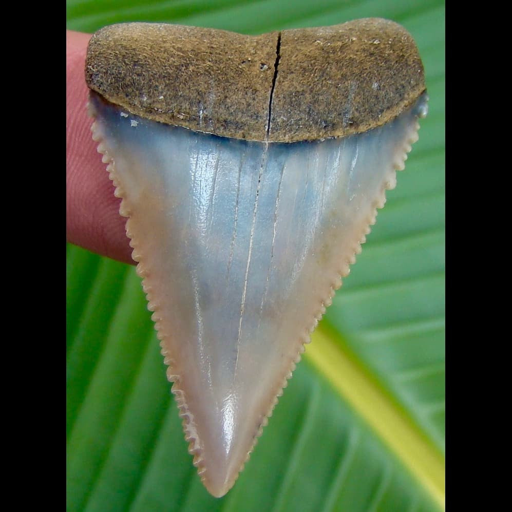 Great White Shark Tooth OVER 1 & 13/16 in.  Peruvian Great White Shark Tooth
