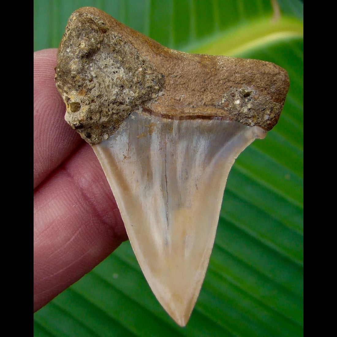 Mako Shark Tooth 2 & 1/8 in.  Chilean Mako Shark Tooth