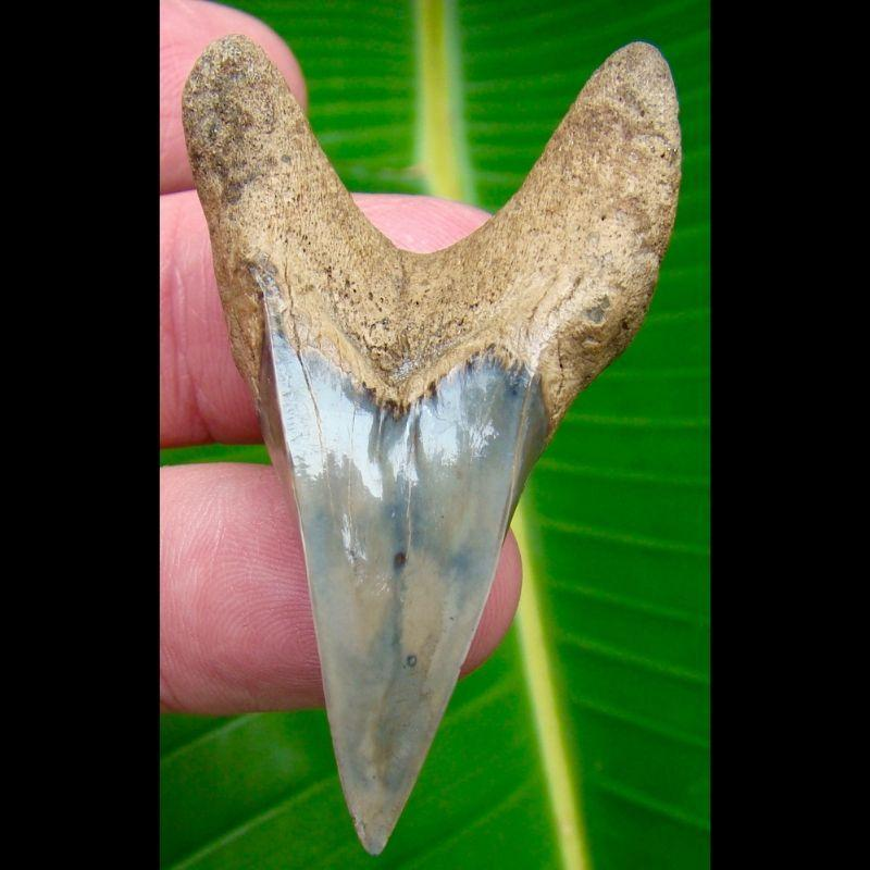Megalodon Tooth 2 & 1/4 in.  Parotodus benedeni shark tooth - Excellent Specimen