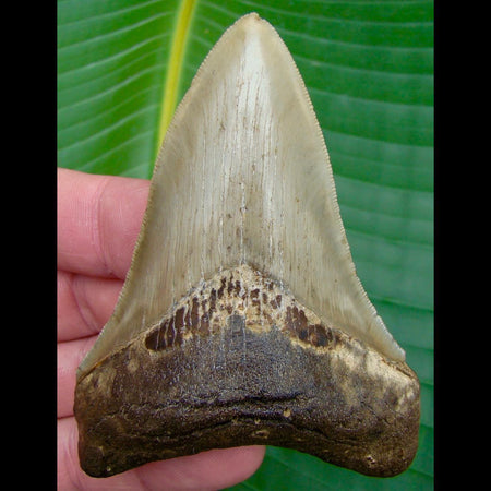 Megalodon Tooth 3 & 11/16  in. * BARGAIN PRICED *   SERRATED North Carolina Megalodon Shark Tooth