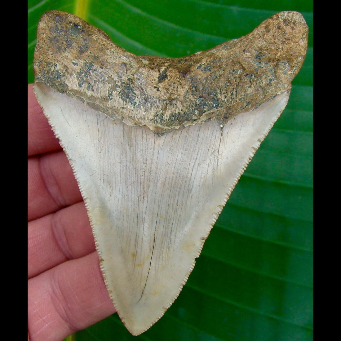 Megalodon Tooth 3 & 13/16 in. * BARGAIN PRICED *  North Carolina Megalodon Shark Tooth