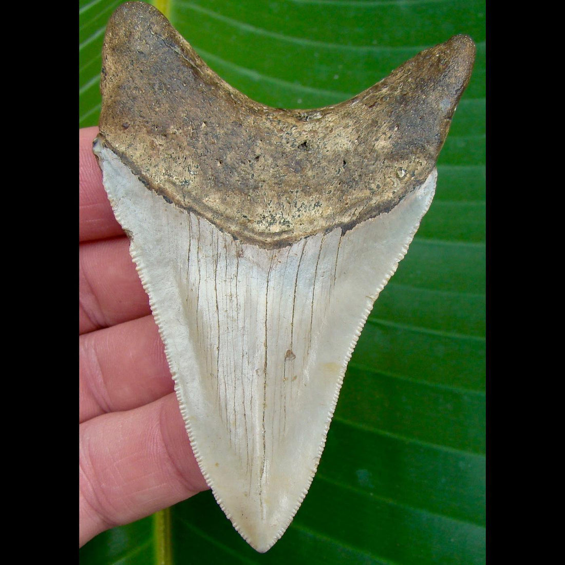 Megalodon Tooth 3 & 3/4in. * BARGAIN PRICED *   SERRATED North Carolina Megalodon Shark Tooth