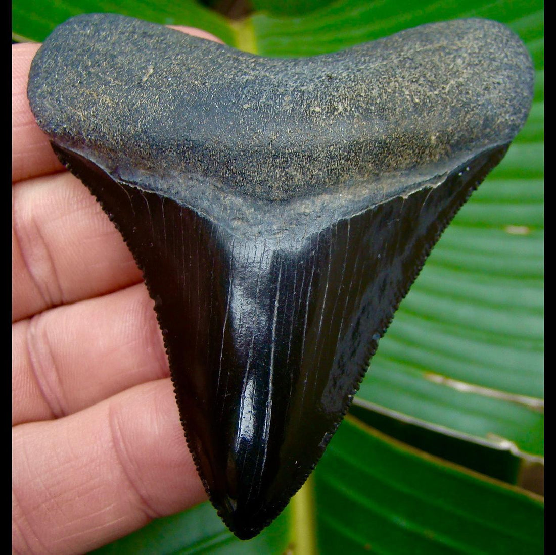 Megalodon Tooth 3 & 5/16 in. - * JET BLACK * Georgia Megalodon Shark Tooth