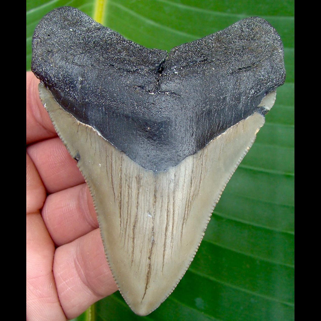 Megalodon Tooth 3 & 5/8 in. * BARGAIN PRICED *  North Carolina Megalodon Shark Tooth