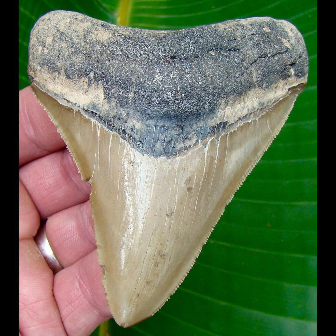 Megalodon Tooth 3 & 7/8 in. * BARGAIN PRICED * - SERRATED -  North Carolina Megalodon Shark Tooth