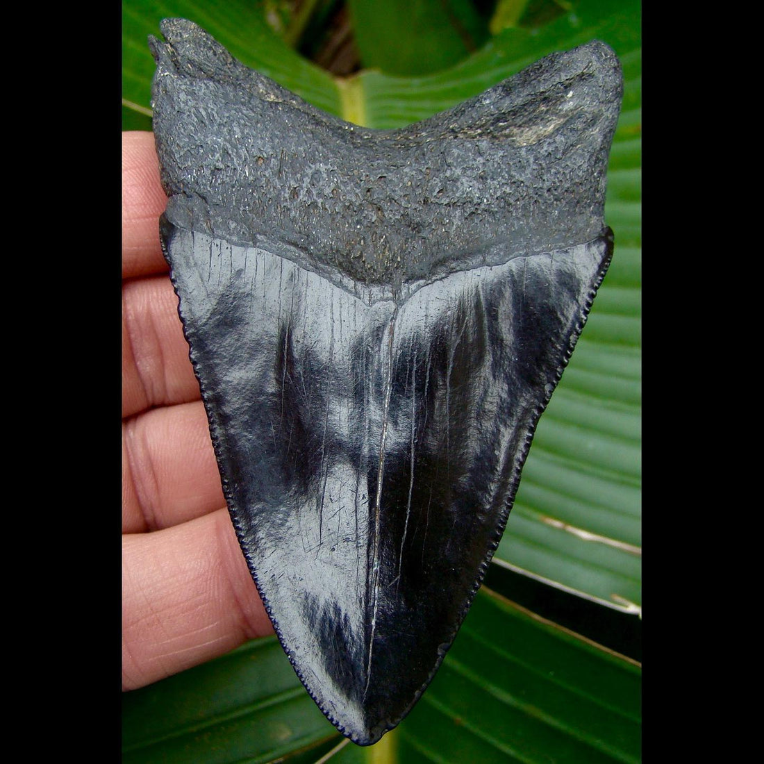 Megalodon Tooth 3 & 7/8 in. - * JET BLACK * Georgia Megalodon Shark Tooth