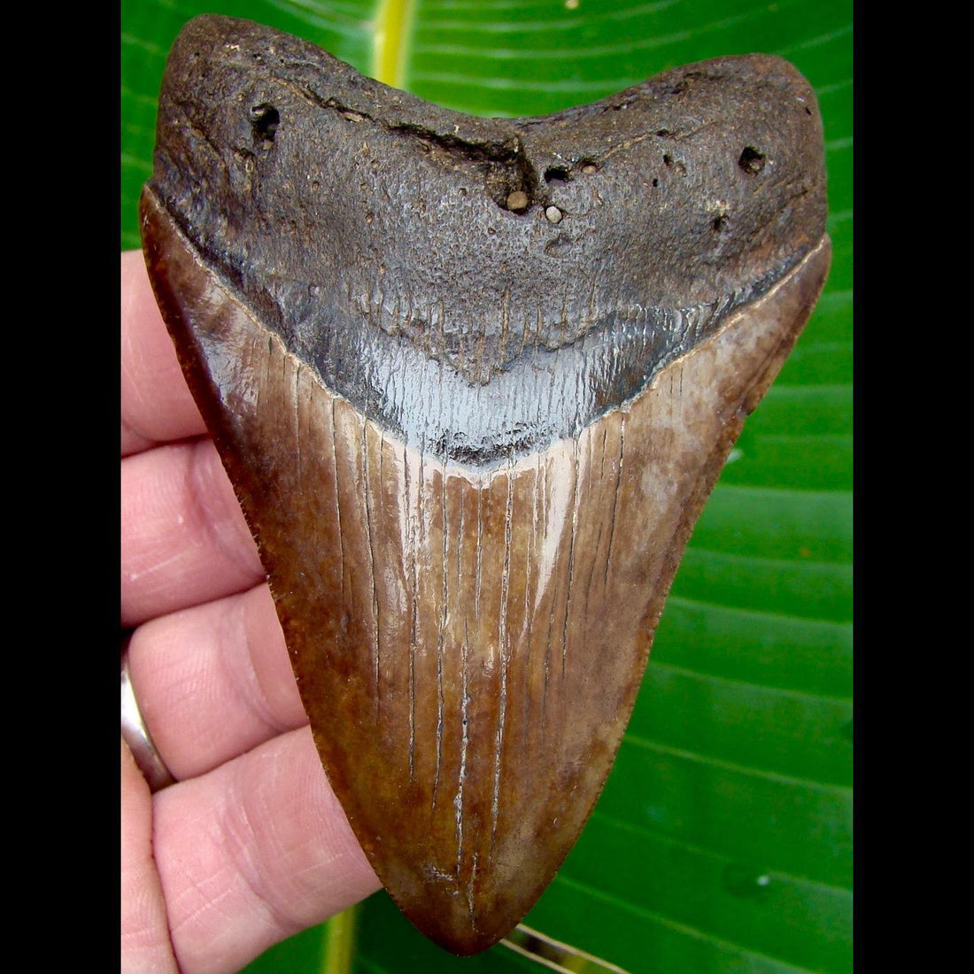 Megalodon Tooth 3 & 7/8 in. South Carolina Megalodon Shark Tooth