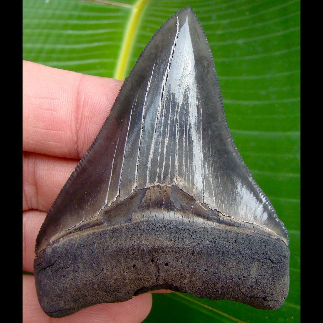 Megalodon Tooth 3 & 8/8 in.  South Carolina Megalodon Shark Tooth