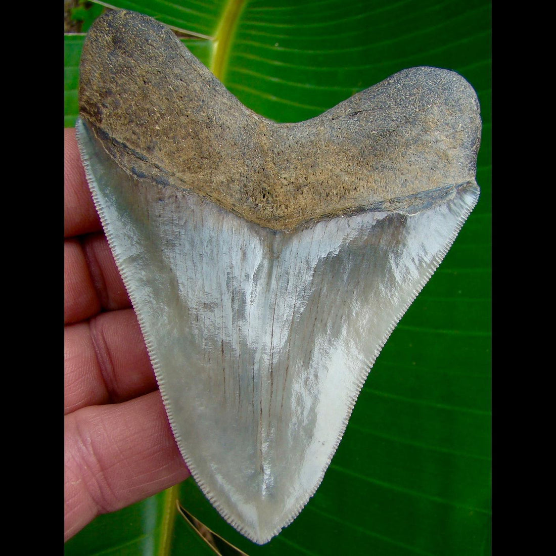 Megalodon Tooth 3.92 in. - * SERRATED *  Georgia Megalodon Shark Tooth