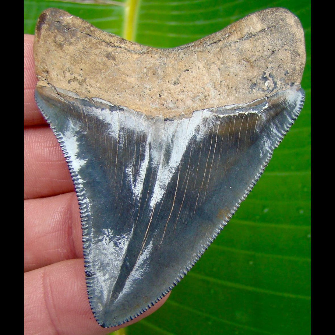 Megalodon Tooth 3 in. -  Georgia Megalodon Shark Tooth