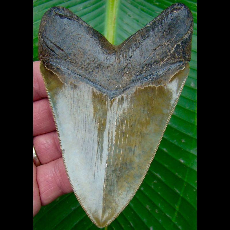 Megalodon Tooth 4 & 1/2 in. - * Light Green  *  Serrated South Carolina Megalodon Shark Tooth