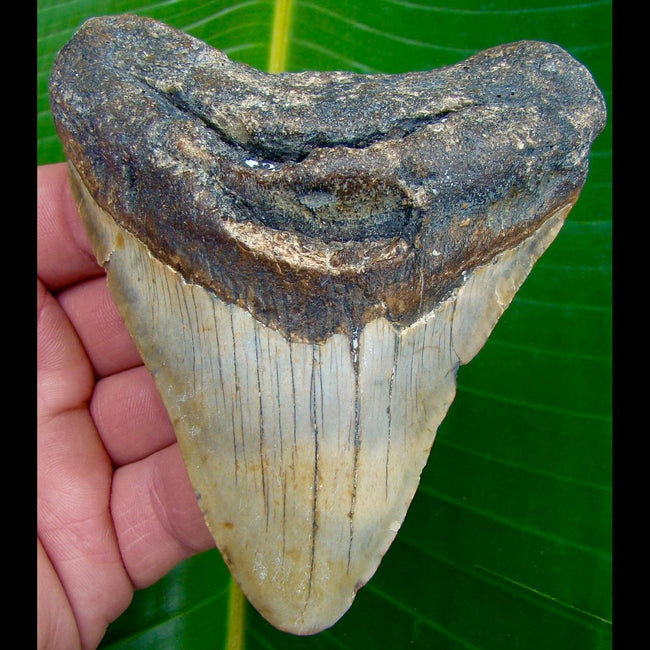 Megalodon Tooth 4 & 1/4 in. * BARGAIN PRICED *   North Carolina Megalodon Shark Tooth
