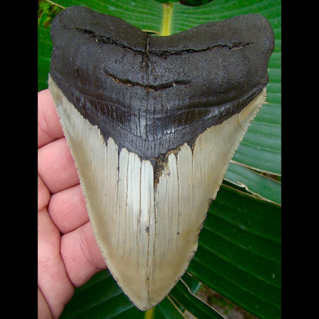 Megalodon Tooth 4 & 15/16 in. * SERRATED *  North Carolina Megalodon Shark Tooth