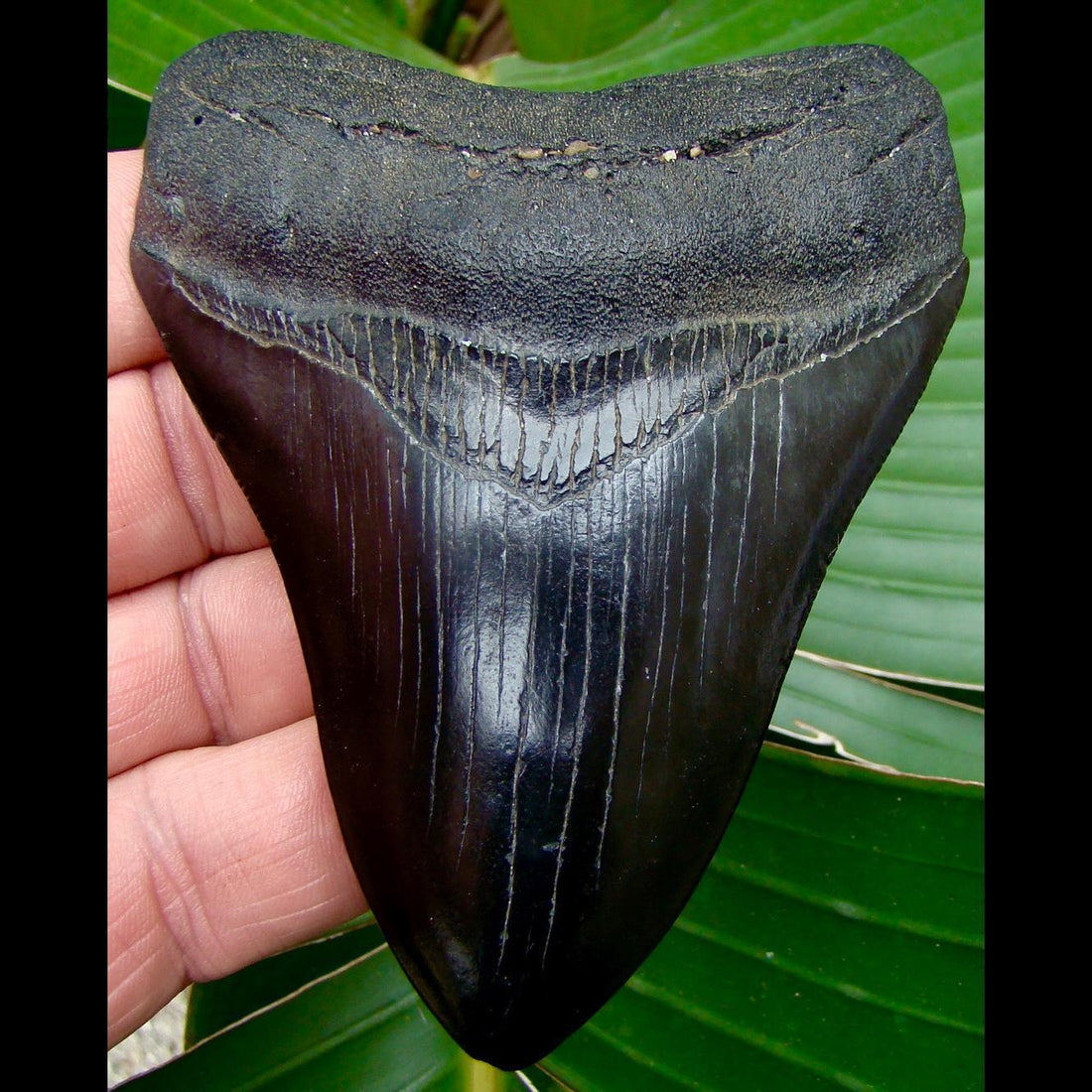 Megalodon Tooth 4 & 3/16 in. - * JET BLACK * Georgia Megalodon Shark Tooth