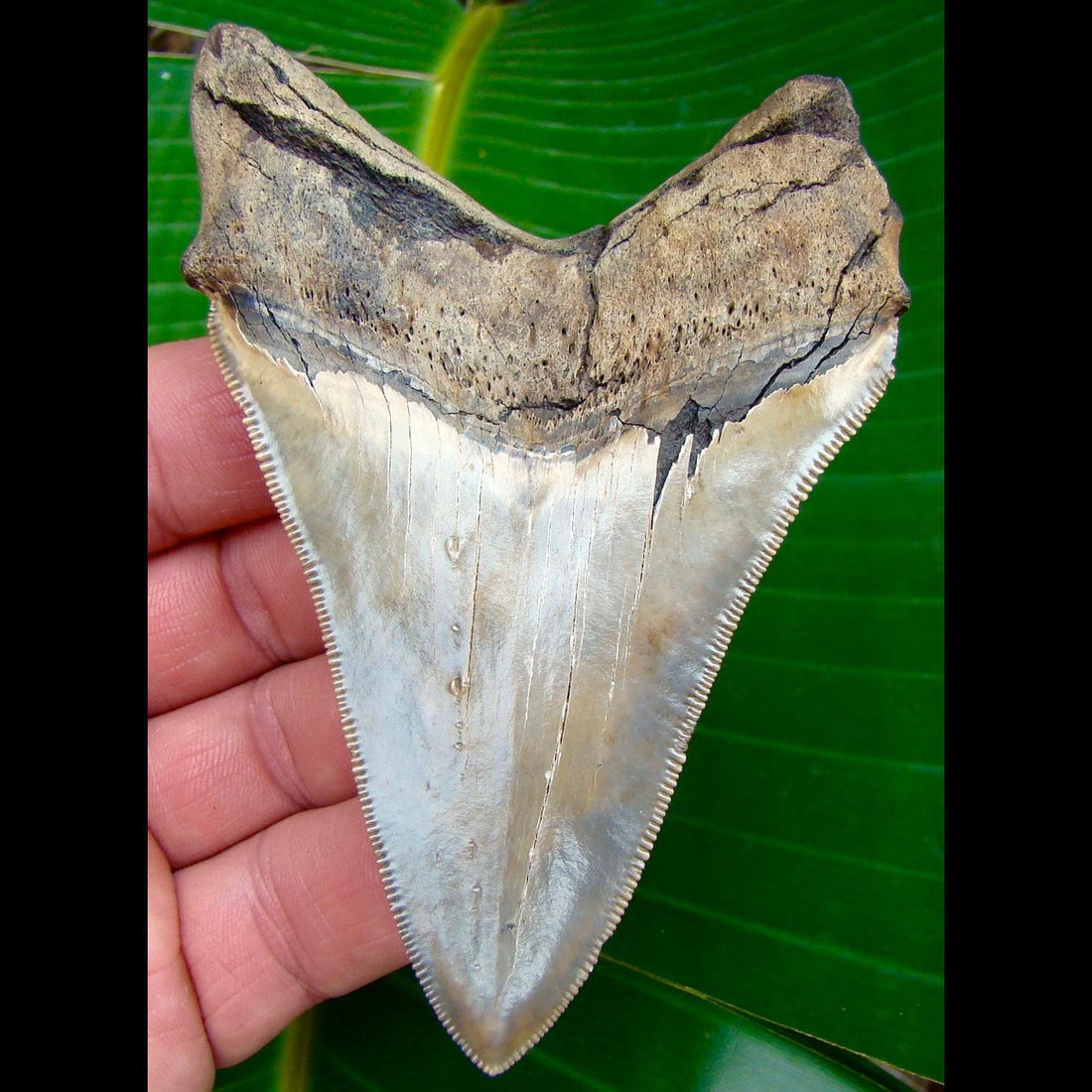 Megalodon Tooth 4 & 3/16 in. South Carolina Megalodon Shark Tooth
