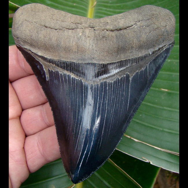 Megalodon Tooth 4 & 3/8 in. - * SUPERIOR QUALITY  * Georgia Megalodon Shark Tooth