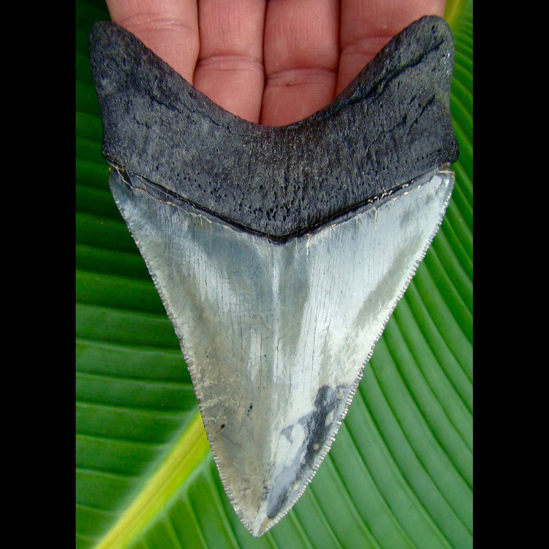 Megalodon Tooth 4 & 3/8 in. Venice Beach, Florida Megalodon Shark Tooth