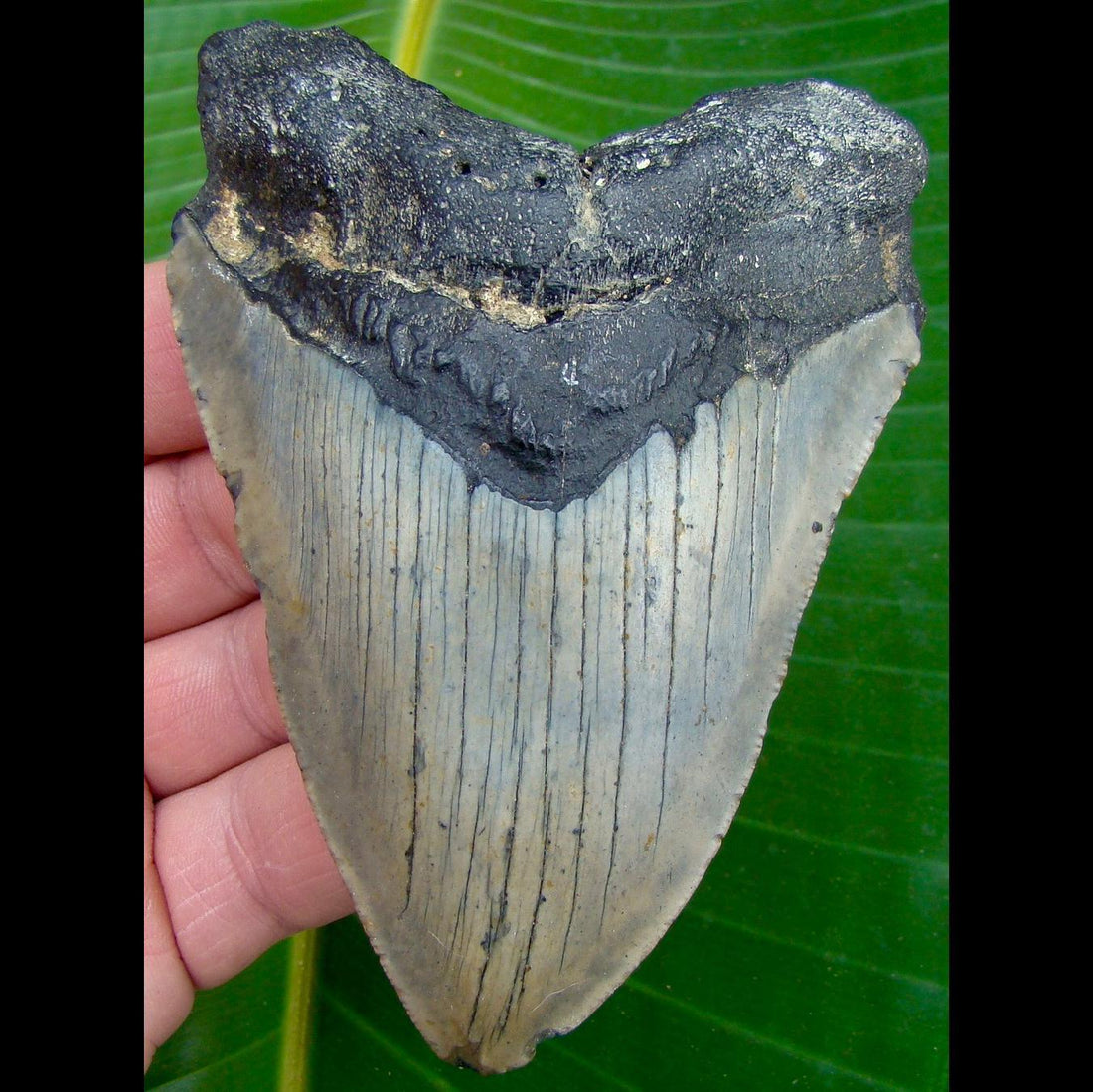 Megalodon Tooth 4 & 5/16 in. * BARGAIN PRICED *   North Carolina Megalodon Shark Tooth