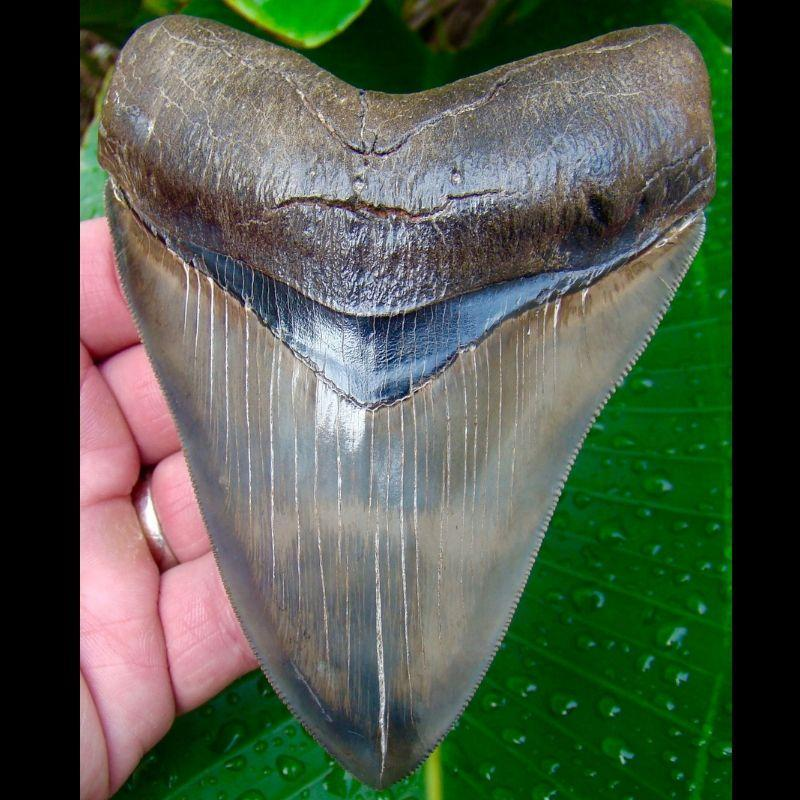 Megalodon Tooth 4 & 5/8 in. - * MUSEUM GRADE  *  Serrated Megalodon Shark Tooth from Georgia