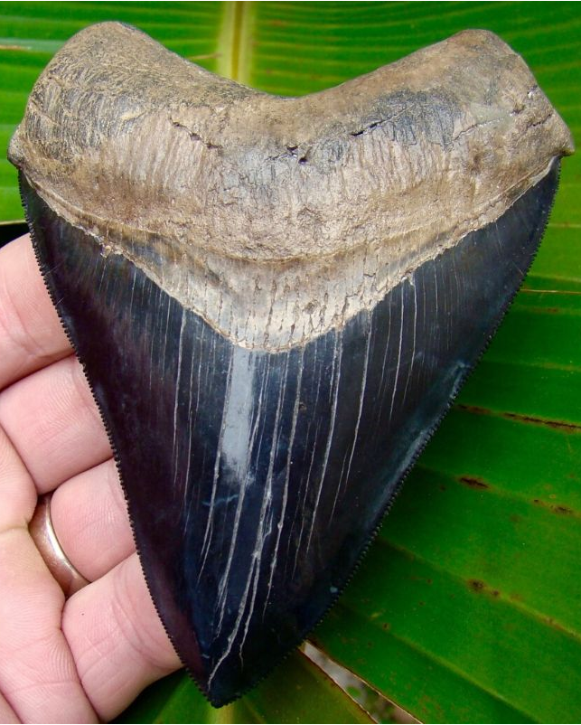 Megalodon Tooth 4 & 7/16 in. - * Best of the Best  *  Serrated South Carolina Megalodon Shark Tooth