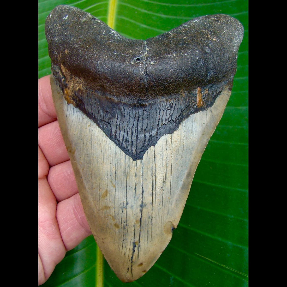 Megalodon Tooth 4 & 7/8 in. * BARGAIN PRICED *  North Carolina Megalodon Shark Tooth