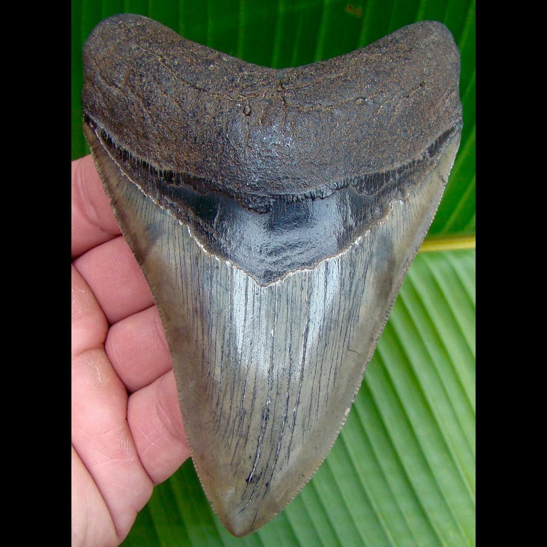 Megalodon Tooth 4 & 7/8 in. South Carolina Megalodon Shark Tooth