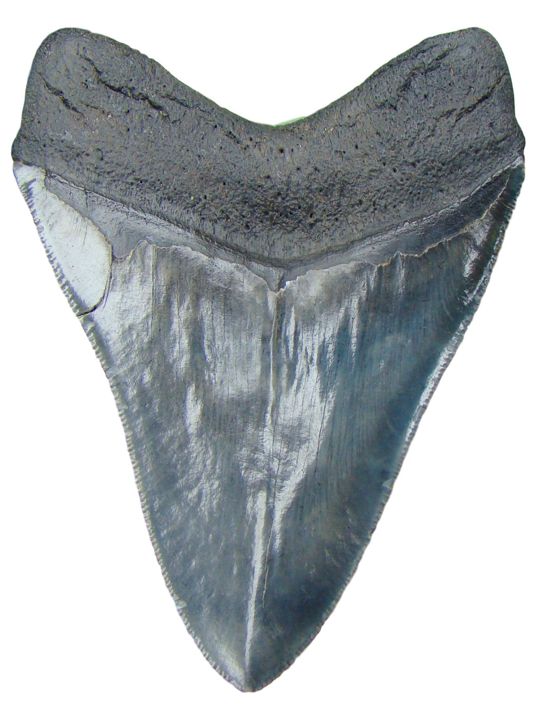 Megalodon Tooth 4 & 7/8 inch - SERRATED  - South Carolina Megalodon Shark Tooth