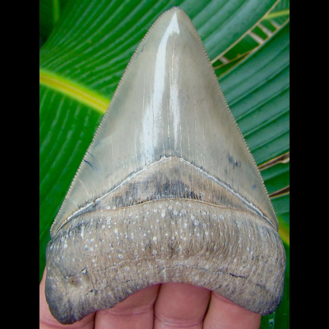 Megalodon Tooth 4 in. Venice Beach, Florida Megalodon Shark Tooth