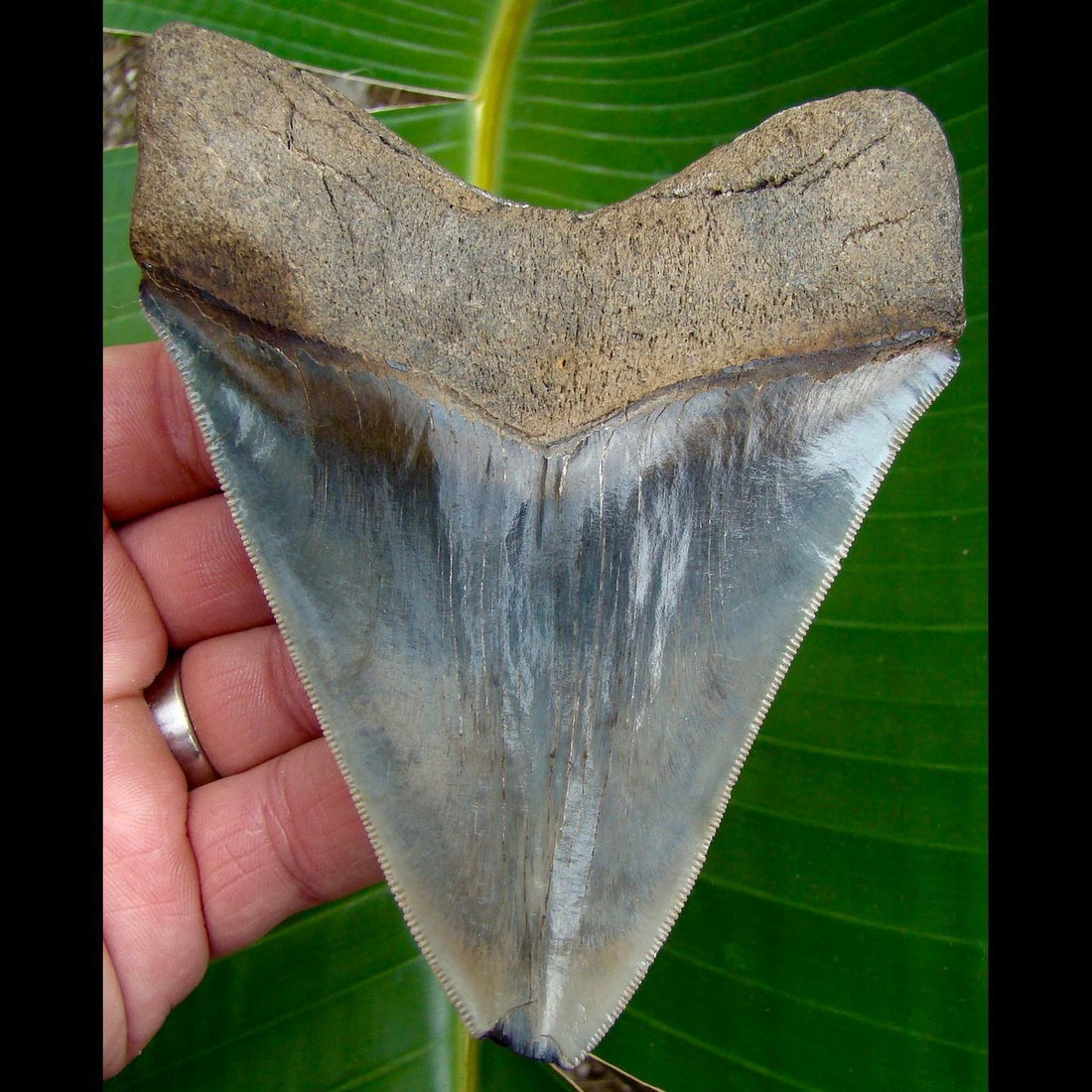 Megalodon Tooth 5 & 1/16 in. - * BARGAIN PRICED *  Georgia Megalodon Shark Tooth