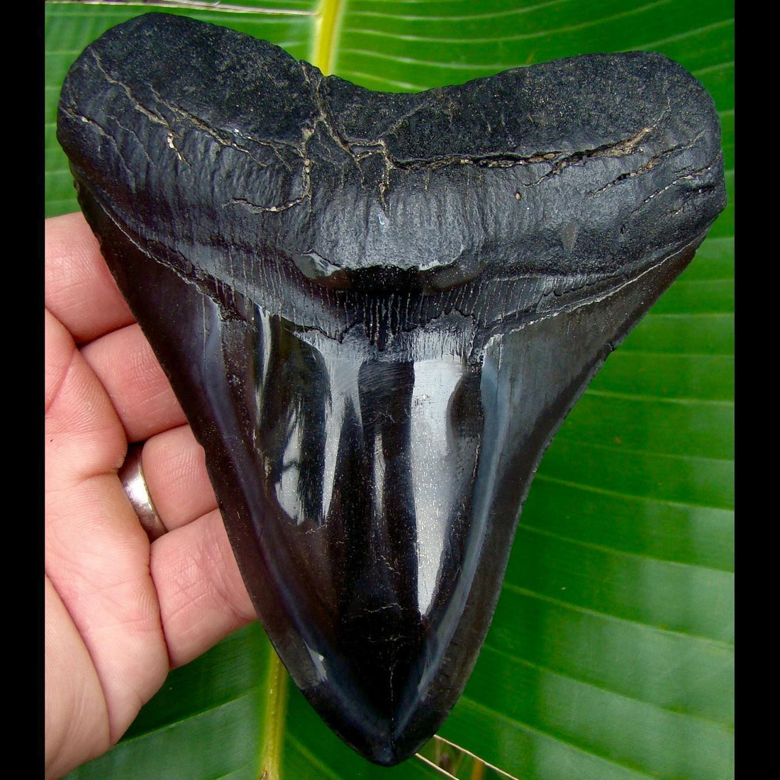 Megalodon Tooth 5 & 1/16 in. South Carolina Megalodon Shark Tooth