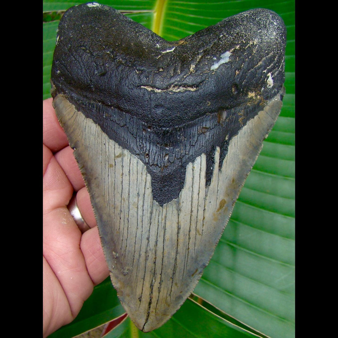 Megalodon Tooth 5 & 1/4 in. * BARGAIN PRICED * North Carolina Megalodon Shark Tooth