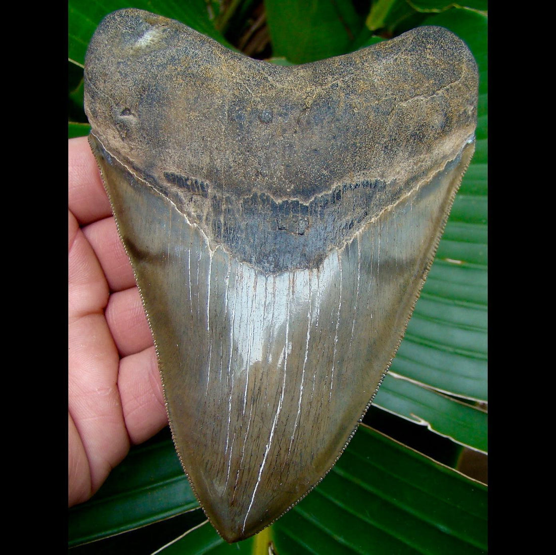 Megalodon Tooth 5 & 1/4 in. -  Georgia Megalodon Shark Tooth