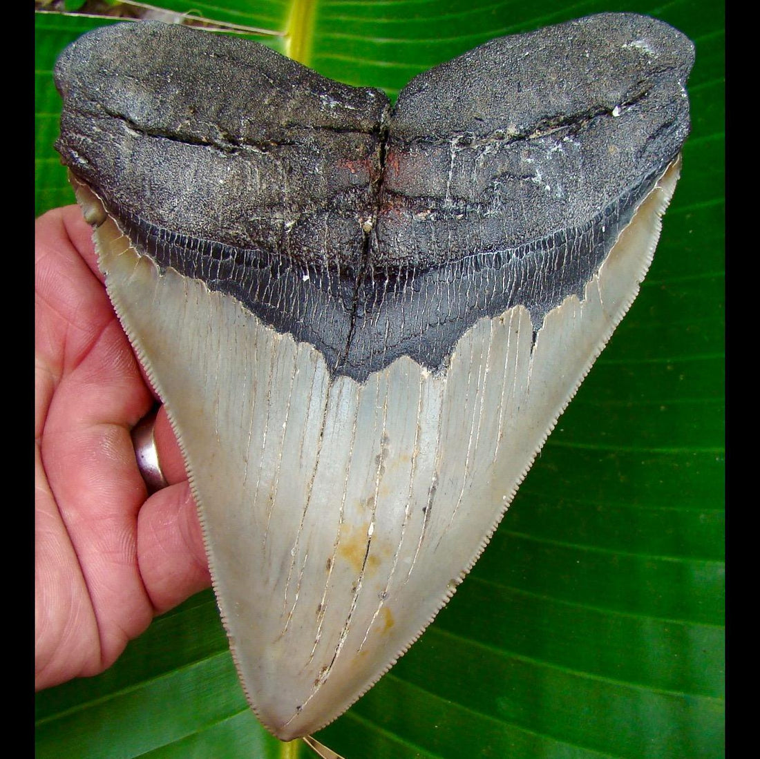 Megalodon Tooth 5 & 11/16 in. * SERRATED * North Carolina Megalodon Shark Tooth