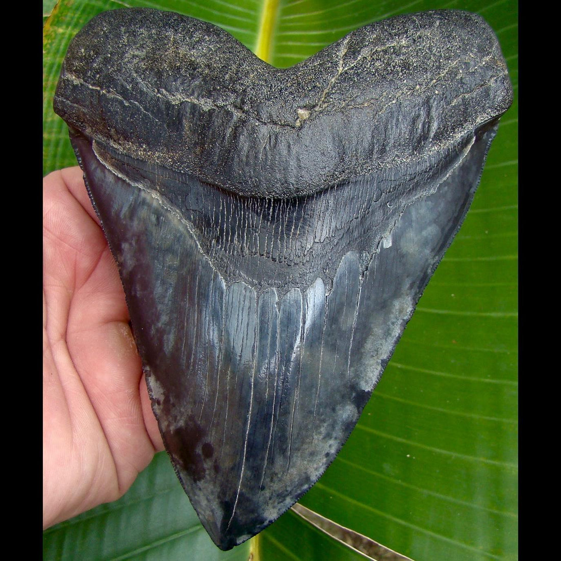 Megalodon Tooth 5 & 13/16 in. South Carolina Megalodon Shark Tooth