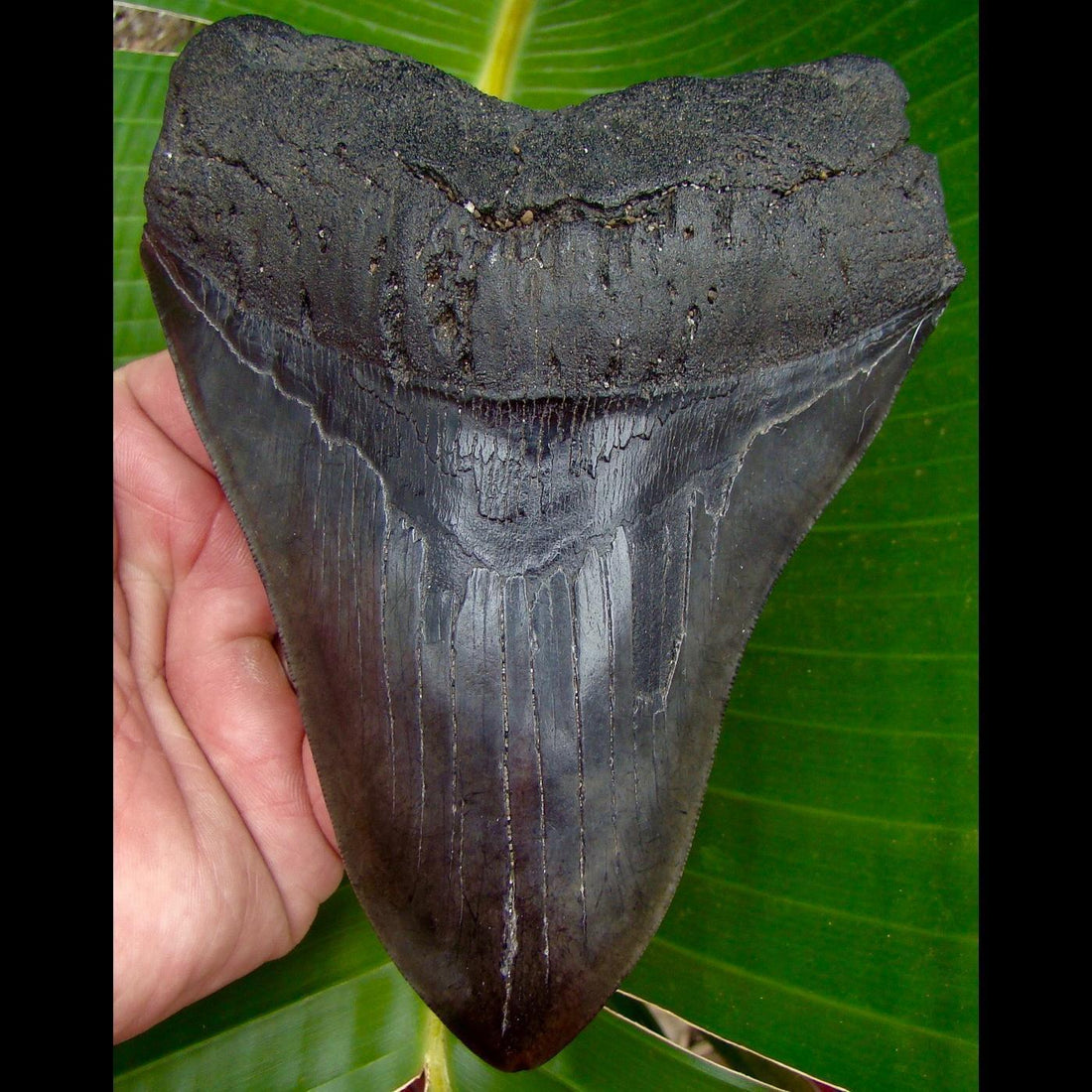 Megalodon Tooth 5 & 3/4 in.  South Carolina Megalodon Shark Tooth - 14.2 ounces