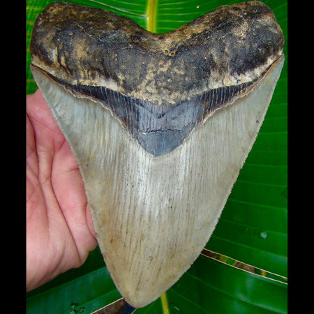 Megalodon Tooth 5 & 5/8 in. * SERRATED * North Carolina Megalodon Shark Tooth