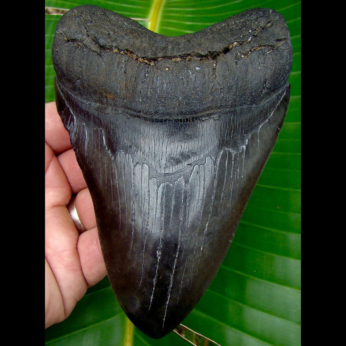 Megalodon Tooth 5 & 7/16 in.  South Carolina Megalodon Shark Tooth